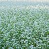 そばの花の上を飛ぶ。幌加内町のそば畑を撮影してきたよ。